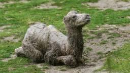 Het pasgeboren veulen (Foto: ZooParc Overloon).