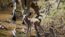 De pasgeboren Fokko in Beekse Bergen (foto: Mariska Vermij - van Dijk / Safaripark Beekse Bergen).
