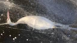 Een fuut onder het ijs (foto: Rozemarijn Krijgsheld).