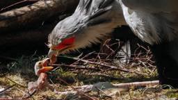 Secretarisvogeltje geboren in de Beekse Bergen (foto: Mariska Vermij / Safaripark Beekse Bergen)