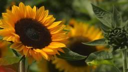De Brabantse zonnebloemen uit een stalletje.