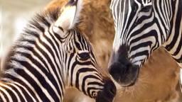 Feest op de savannes van de Beekse Bergen: zebraveulen Casper geboren