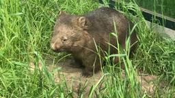 'Schattige pluizenbollen', BestZOO trots op komst van wombats