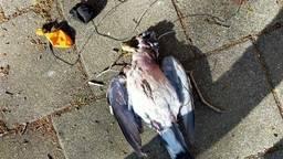Zo vond Richard de duif op zijn stoep. (Foto: Richard Jansen)