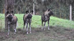 ZooParc Overloon verwelkomt nieuwe bewoners: drie Afrikaanse wilde honden
