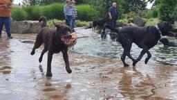 Blije labradors tijdens Labradordag