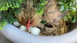Kip kiest bloempot als broedplek.