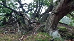 De kruin van een ondergestoven eikenboom (foto: Jan Schilders).