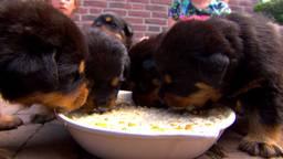 Hond Roxy kreeg 15 puppies: 'Panieknaanval na de bevalling'
