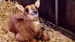 De pasgeboren buffel heet Pierre en de paardantilope heet Luuk (Foto: Beekse Bergen).