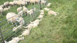 Dode schapen in de polder bij Hedikhuizen.