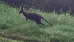De ontsnapte kangoeroe (foto: Peter Leunissen).