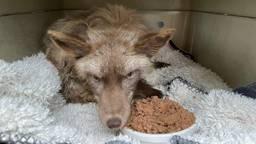De vos in Beers werd na een uur gevangen (foto: Facebook Dierenambulance Hokazo).