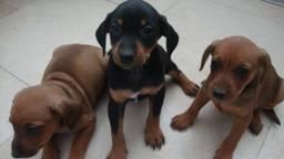 Vergelijkbare puppy's, een kruising van een Jack Russels en een Boeren Fox (foto: politie Cuijk).