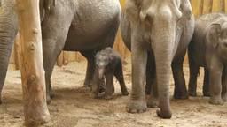 Rashmi, wat zonlicht betekent, is het eerste Aziatisch olifantje dat dit jaar in Europa is geboren (foto: Dierenrijk).
