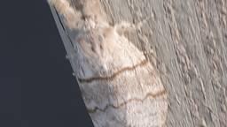 De nachtvlinder die de prachtige rups meriansborstel wordt (foto: Ria Boot).