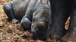 Ravy is een gezond mannetje en woog bij zijn geboorte veertig kilo (foto: Beekse Bergen/Mariska van Dijk).