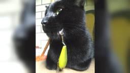 Een kat is gewond geraakt door een vishaak. (Foto: Dierenambulance Brabant Zuid-Oost)