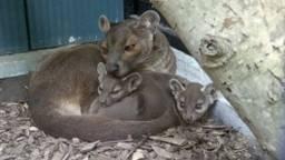 Moeder met de kleintjes (foto: Zooparc Overloon).