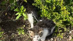 Kitten naast haar overleden moeder (foto: Dierenbescherming).