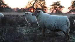 Enkele schapen van Hans van Lieshout (foto: Hans van Lieshout).