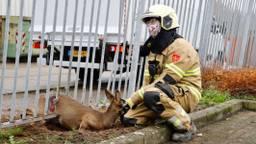De brandweerman met het gevangen ree (foto: Saski Kusters / SQ Vision).