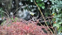 Vogels, zoals deze pimpelmees, zoeken op takjes en blaadjes naar voedsel (foto: Hetty Makke).