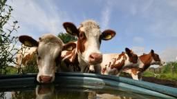 Veehouders moeten tegenvallende uitspraak slikken (foto: Ben Saanen).