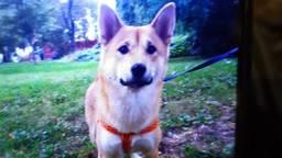 Hond Aisa verdween donderdag spoorloos (foto: politieteam Roosendaal/Facebook).