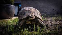 Schildpad Nana voordat ze de poort uitliep (foto: Letty van de Wal)