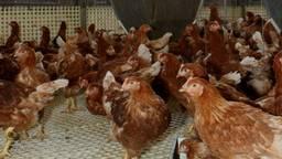 Kippen stoten minder ammoniak uit