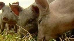 Risico's voor varkenspest (foto: ANP).
