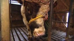 Veehouder veroordeeld voor het verwaarlozen van zijn stieren (archieffoto)