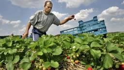 Aardbeienplukkers aan het werk