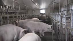 Varkenshouders bang voor overvolle stallen (archieffoto)