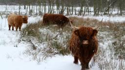 Schotse Hooglanders (foto: Hans van Hamersveld)
