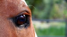 Het paard is mishandeld en misbruikt. Foto: Archief