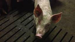 Varkens verwaarlozen: eens maar nooit weer (foto: archief).