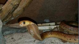 De cobra (Foto: gemeente Drimmelen).