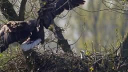 Spectaculaire beelden: Moeder zeearend terug op het nest