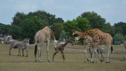 Nova was meteen te bewonderen. (Foto: Safaripark Beekse Bergen/Libéma).