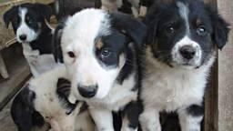 De puppyhandelaar in Hapert is vaker in opspraak geweest (archieffoto: Lawrence Wright/Flickr).
