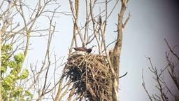 Visarenden op hun nest. Foto: archief