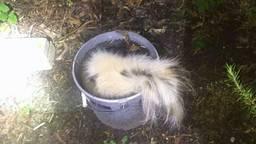 Het dode stinkdier lag in een emmer. (Foto: politie Eindhoven/Facebook)