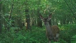 Een edelhertkalfje in Het Groene Woud. (Foto: Brabants Landschap)