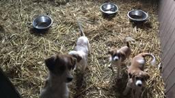 Kooikerhonden in een hok bij fokker Sjaak Branten in Haarsteeg (foto: Imke van de Laar)