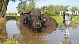 De waterbuffels genieten van hun modderpoel en hun prijs. (foto: Wakker Dier/Joost van Manen)