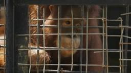 Er zijn steeds minder bossen voor orang-oetans in Indonesië.
