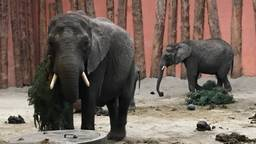 De olifanten kregen vijf kerstbomen opgediend als ontbijt. (foto: Eva de Schipper)