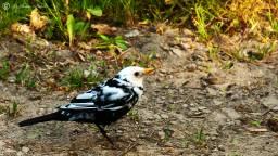 Leucistische merel (Foto: Vroege vogels)